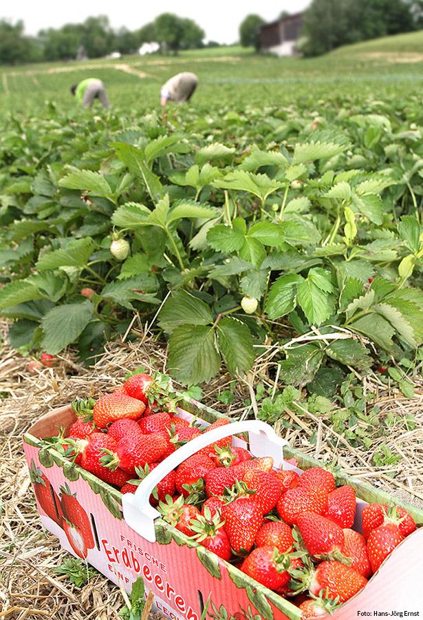 Erdbeeren-Reportage: Der Lohn der Arbeit