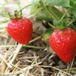Mmmh lecker: Reife Erdbeeren frisch vom Feld