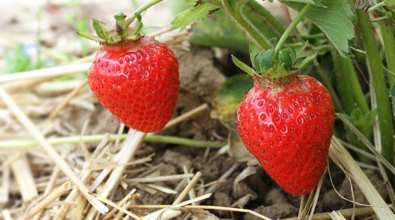 Erdbeeren-Reportage: Frische Erdbeeren auf dem Feld