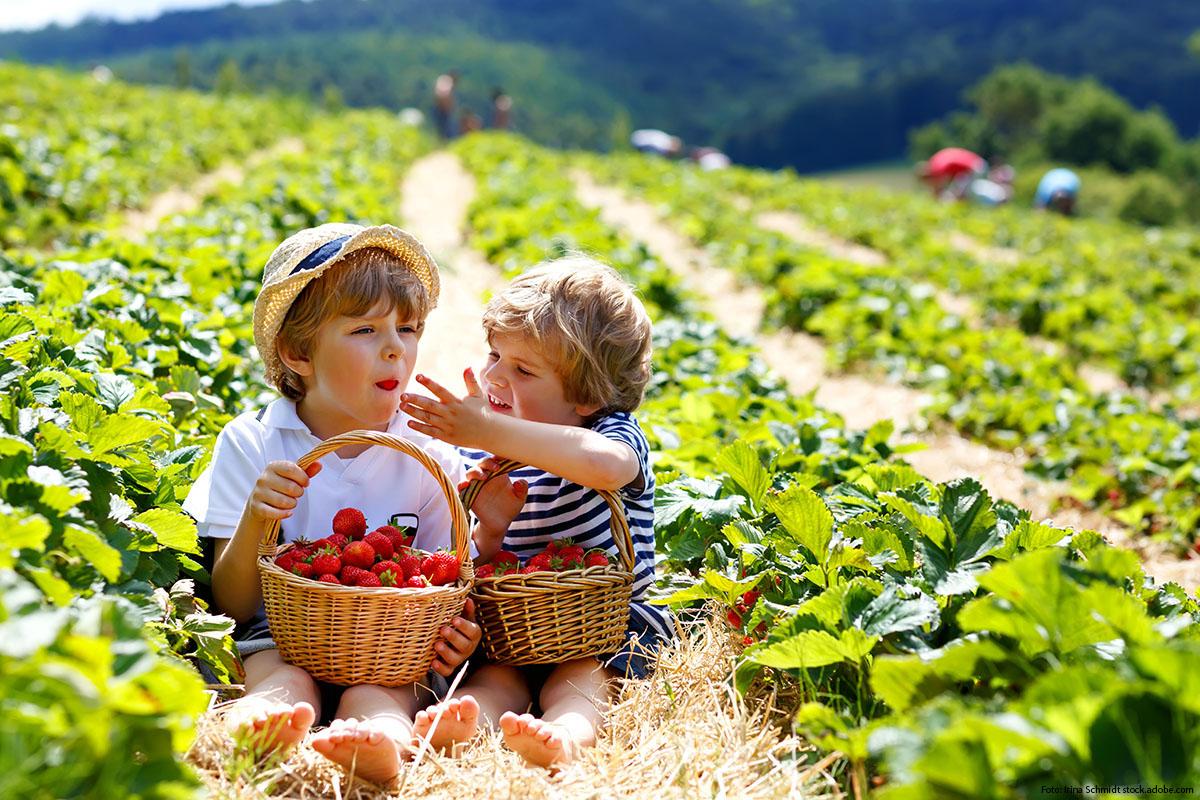 Erdbeeren-Reportage: Selberpflücken macht Spaß