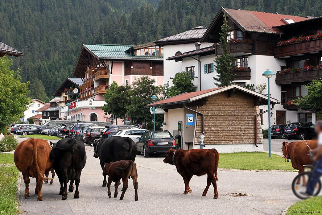 PRACHTVOLLE SYMBIOSE Ein Landwirt aus dem Ort Haldensee begleitet seine Kühe vor dem Panorama der Wellnesshotels von der Weide in den Stall. | Foto: Hans-Jörg Ernst